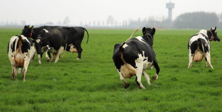 veel mensen verdragen melk slecht